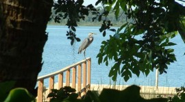 Herons frequent Loon Cottage
