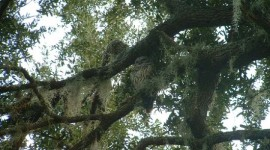Barred Owl in Oak Tree at Loon Cottage